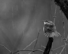 Wren In the Rain