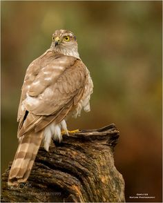 Female Sparrow Hawk