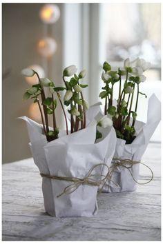 Helleborus niger / kerstroos: vaste plant die ook prachtig staat in uw interieur