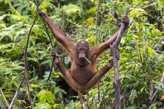 """The sad Orangutan"" Photo by Emanuele Del Bufalo -- National Geographic Your Shot"