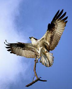 Osprey with branch (ShakeyJake) Bird Poster, Like Animals, Birds Of Prey, Figure It Out, Raptors, Bird Feathers, Art Boards, Clip Art, Hawks