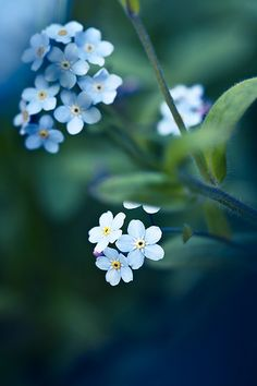 Myosotis scorpioides, forget me nots, favorite flower- I had a forest of them around my childhood home.