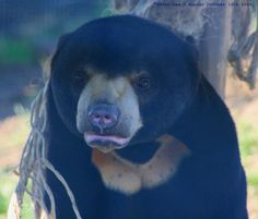 Sun Bear cub - Rare Species Centre, Kent, England