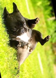 """""""Don't Panic!""""... """"maybe nobody saw me?"""", a French Bulldog Puppy 'body roll' ❤❤"""
