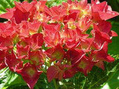 Hydrangeas..my favorite plant just have the hardest time growing them