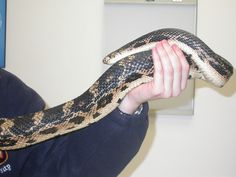 Northern Pine Snakes, Reptiles, Pine, Pine Tree, A Snake, Snake