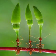 Ants lift chili peppers