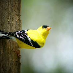 American Goldfinch Alert and Watching by Robert Hamm - Animals Birds ( post, canada, winnipeg, american goldfinch, finch, spring, manitoba, bird, nature, outdoor, songbird, perch, goldfinch, , color, colors, landscape, portrait, object, filter forge )