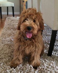 Mini English Goldendoodles - The Paw Pad Goldendoodles, Inc. F1b Mini Goldendoodle, Labradoodle, Goldendoodles, Dog Love, Puppy Love, Puppy Haircut, Doodle Dog, Dogs And Puppies, Doggies