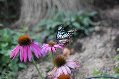 渡りをする蝶アサギマダラ