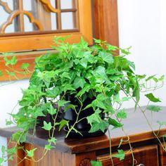 hedera helix kamerplant - Klimop neemt formaldehyde en benzeen op. De plant zuivert de lucht van deVOV's in sigarettenrook of oplosmiddelen.
