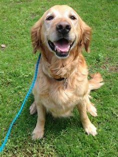 4/2/16 SL★BEAUTIFUL LITTLE GIRL!★This is Megan - 6 yrs. She was an owner surrender due to a move. She is spayed, current on vaccinations, potty trained, walks well on leash & good with dogs & cats. Retrievers and Friends of Southern California. http://www.retrieversandfriends.com/animalDetail.asp?ID=2796