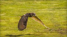 Owl - beauty flight