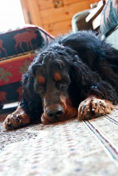 Gordon Setter Puppy Dog Puppies Hound Dogs