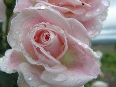 drop pink rose