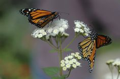 Monarchs nectaring on white flowers in garden designed by Brent Knoll of Knoll Landscape Design