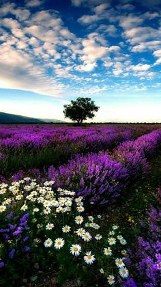 New Nature Pictures Flowers Fields Ideas Lavender Fields, Lavender Flowers, Wild Flowers, Purple Roses, Nature Pictures Flowers, Nature Photos, Beautiful World, Beautiful Images, Beautiful Flowers Pics