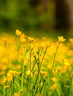 Buttercup Fields Photograph  - Buttercup Fields Fine Art Print
