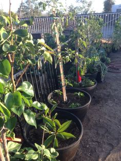 "Potted trees offer a great way to create portable planting boxes that you can ""share"" with your veggies. Here we have several boxes with fruit trees and under each, we have planted another crop such as strawberries, eggplant, carrots, herbs and even beets."