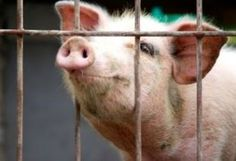Urge North Dakota State University and Sanford Health to End the Use of Live Pigs for Advanced Trauma Life Support Training.  Yet 99% of ATLS programs do not use animals.