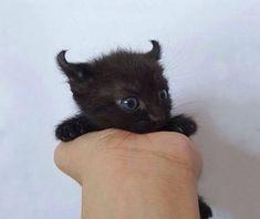 Cute Baby Cats, Cute Cat Gif, Siamese Kittens, Cats And Kittens, Baby Animals, Cute Animals, Funny Animals, Gatos Cool, Cats Diy