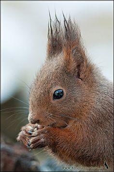 Eurasian red squirrel--Sciurus vulgaris