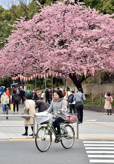Cherry blossom season begins - in pictures