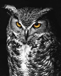 Black and white conversion of Great Horned Owl, photographed a few years ago at Hueston Woods State Park in Ohio, with color in eyes revealed in underlying layer. Tatto Skull, Owl Eye Tattoo, Owl Photos, Owl Pictures, Black And White Birds, Black And White Drawing, White Bird Tattoos, Buho Tattoo, Digital Art Photography