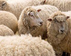 Schafe Fotografie Kindergarten Schafe Kunst von CarlChristensen, $30.00