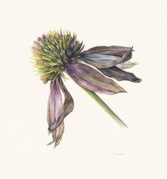 lucy smith botanical artist - Google Search Kew Gardens, Botanical Art, Dandelion, Watercolor, Gallery, Artist, Flowers, Plants, Pencil Art