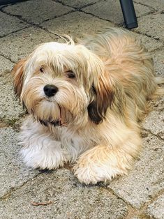Havanese Haircuts, Havanese Puppies, Labradoodle, Doggies, Pet Dogs, Animals And Pets, Cute Animals, Pet Treats, All Gods Creatures