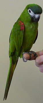 Mini Macaw....must have one!