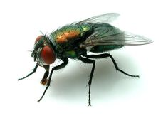 Full Guide To get rid of Blow Flies - Blow flies are a health risk to all humans; they can and do transmit disease and illness by contaminating our food and homes. Wasp Insect, Insect Art, Get Rid Of Flies, Foto Macro, Micro Photography, Horse Fly, Mushroom Art, Flying Insects, Red Squirrel