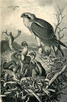 1883 Osprey Antique Bird Print  Black and White by CarambasVintage, $16.00