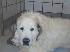 Unknown Outcome One of the most loyal independent breeds , most likely die . 35475786  SpeciesDog  BreedGreat Pyrenees/Mix  Age5 years   GenderMale  SizeLarge  ColorWhite  SiteDepartment of Animal Services, City of El Paso  LocationDQB  Intake Date5/27/2017