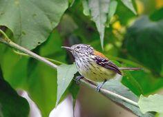 Foto zidedê (Terenura maculata) por Luiz Ribenboim | Wiki Aves - A Enciclopédia das Aves do Brasil