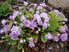 primula vulgaris 'Lilacina Plena'