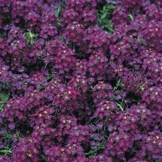 WONDERLAND  DEEP PURPLE  Alyssum Seeds  Fragrant, deep purple flowers.    Attracts butterflies - Sweet smelling, clustered flowers - Low, spreading, easy to grow plants - Ideal for bedding, edging and containers - Heat and drought tolerant.