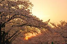 Cerejeira, a beleza e a fragilidade da natureza