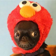 13 Pugs Who are Ready for Halloween | Unbelievab.ly