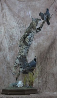 Southern California Bobcat / California Mtn Quail