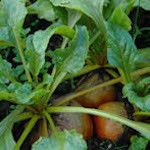 Touchstone Gold (Beet Leaf-Chard) - By all accounts, this is the best gold beet available. Smooth round roots are richly colored, fine textured, sweet as beets get, and have glossy tender tops.