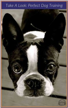 Boston Terrier Hummingbird Those We Love Don/'t Go Away They Walk Canvas Framed
