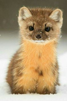 Not sure what this critter is but it's cute. Not sure what this critter is but it's cute. Cute Funny Animals, Cute Baby Animals, Animals And Pets, Wild Animals, Cute Creatures, Beautiful Creatures, Animals Beautiful, Animal Pictures, Cute Pictures