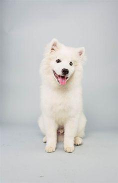 Brody the American Eskimo Dog