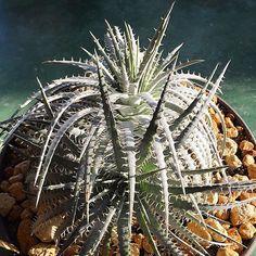 dyckia dyckiayouup plants bromeliad