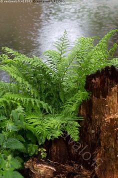 Saniainen sateessa - saniainen kotkansiipi Matteuccia struthiopteris kasvi laho kanto sateinen vesi luonto joenvarsi ranta