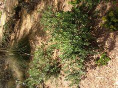 P. heterophyllus, rock penstamon, blue-violet flowers, green year-round