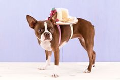 How to Dress Your Dog Up as a Cheese Plate for Halloween via Brit + Co.
