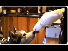 VIDEO: Cockatoo and Husky, Best Friends or Partners in Crime? - The Dogington Post Animals Beautiful, Cute Animals, Funny Animals, Pet Dogs, Dog Cat, Dog Feeding, Cockatoo, Partners In Crime, Funny Animal Videos
